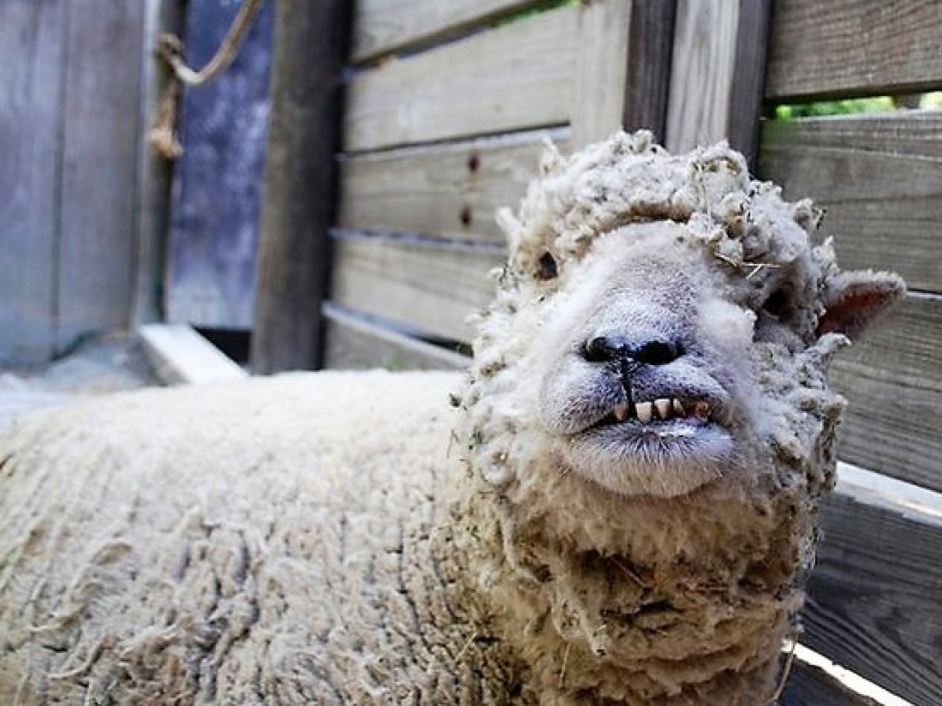 Овца смешные картинки, трех фото картинки